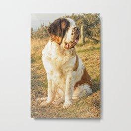 St Bernard dog in the sunset Metal Print