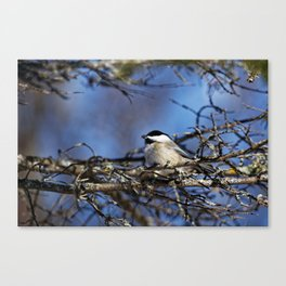 Black-capped Chickadee Holding a Seed Canvas Print