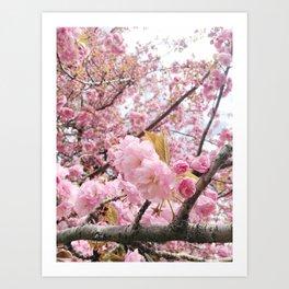 Cherry Blossoms II Art Print