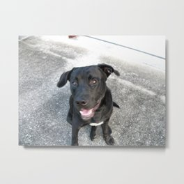Black Lab Camera Pose Metal Print