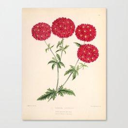 Verbena Lustrous Vintage Floral Flower Hand Drawn Scientific Illustration Canvas Print