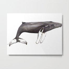 Humpback whale Megaptera Metal Print