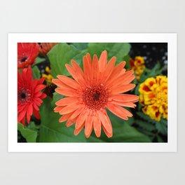 Orange Gerber Daisy Art Print