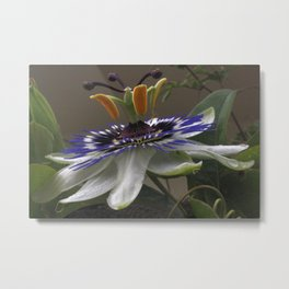 Close Up of Beautiful Passiflora Flower Metal Print