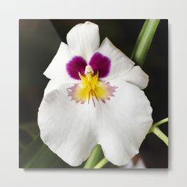 Pansy Orchid Metal Print