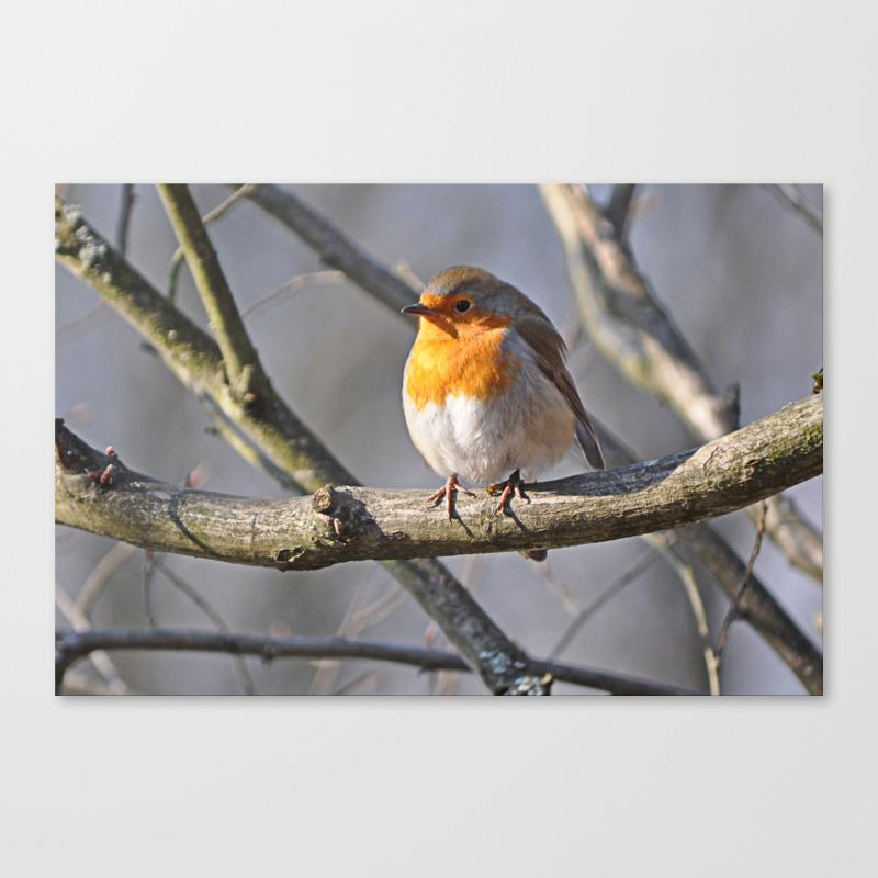 Fluffy Robin Redbreast Canvas Print by Pirminnohr (CNV915575) photo
