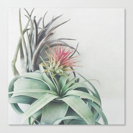 Air Plant Collection II Canvas Print