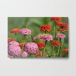 Hummingbird with Zinnia Flowers Metal Print