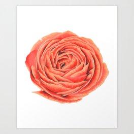 Rose. Big flower Art Print