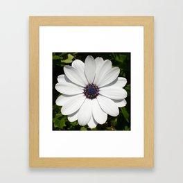 Beautiful Blossoming White Osteospermum  Framed Art Print