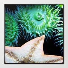 anthopluera xanthogrammica Canvas Print