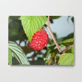 Single Red Raspberry After the Rain Metal Print