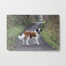 St Bernard dog in Autumn woodland walk Metal Print