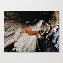 Red Newt Canvas Print
