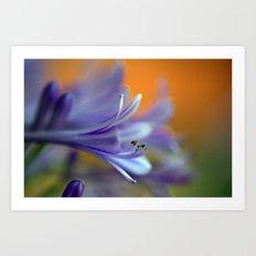 Blue Agapanthus 2786 Art Print
