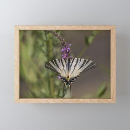 Scarce swallowtail butterfly Framed Mini Art Print