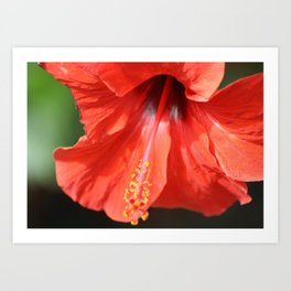 Red Petal and Anther with Pistil of Hibiscus Flower Art Print