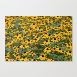Field of Brown Eyed Susans Canvas Print