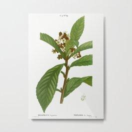 Loquat, Mespilus Japonica from Traité des Arbres et Arbustes que l'on cultive en France en pleine te Metal Print