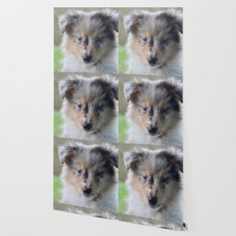 Blue-eyed Portrait of a Shetland Sheepdog Puppy Wallpaper