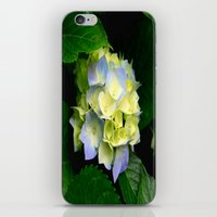 hydrangea iPhone & iPod Skins featuring Hydrangea  by Chris' Landscape Images & Designs