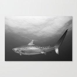 Tiger Shark, Black & White Canvas Print