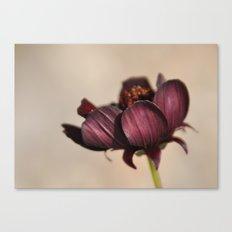 Chocolate Cosmos I Canvas Print