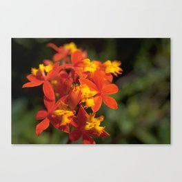 Crucifix Orchid - Epidendrum radicans Canvas Print