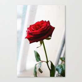 Rose of Valentine's day Canvas Print