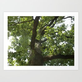 Looking Up at the Oak Art Print