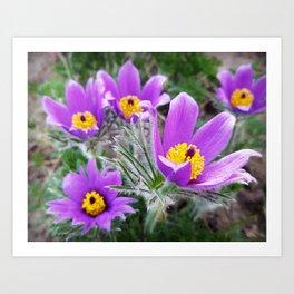 Spring flower photo Spring Pasque Flower Pulsatilla vernalis Art Print