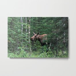 Alaskan Moose Metal Print