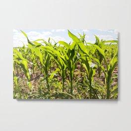 corn field close up Metal Print