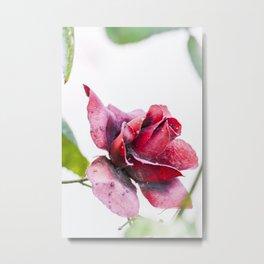 Old red rose Metal Print