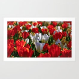 Hello Spring! Bright Orange and White Tulips and Narcissi in the Sun Art Print