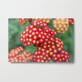Paprika Yarrow Flowers Metal Print