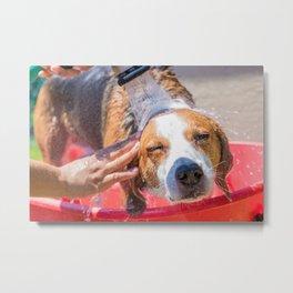 Beagle mix hound having a summer time bath outdoors. Metal Print