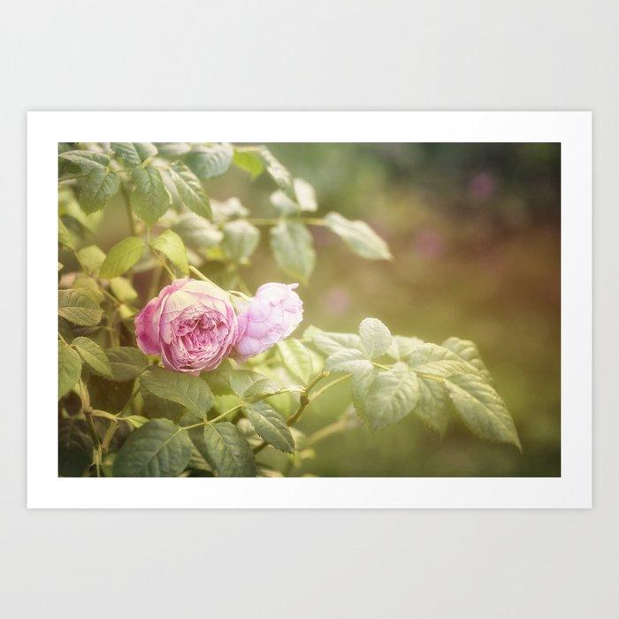 Rose in late sunlight Art Print
