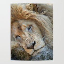Resting White Lion Poster