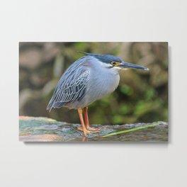 Striated Heron Metal Print