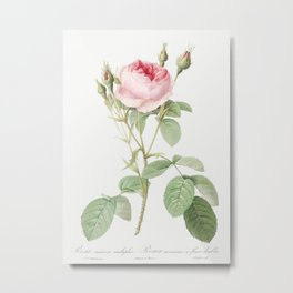 Double Moss Rose, also known as Sparkling Rosebush with Double Flowers (Rosa muscosa multiplex) from Metal Print