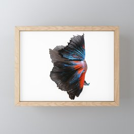 Multi-color betta fish, siamese fighting fish isolated on white background Framed Mini Art Print