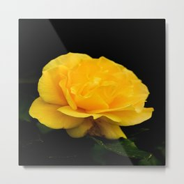 Golden Yellow Rose Isolated on Black Background Metal Print