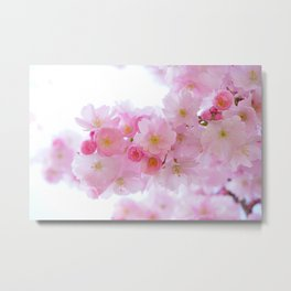 Closeup of a Blossoming Japanese Cherry Tree Metal Print