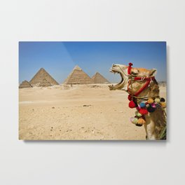 Camel eating the Pyramids in Egypt Metal Print