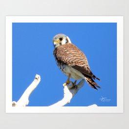 American Kestrel Falcon Art Print