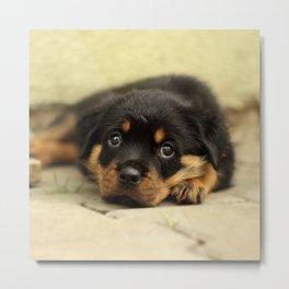 Rottweiler20150901 Metal Print