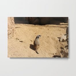 Little suricate looks around Metal Print