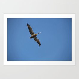 Flight of the Pelican Art Print