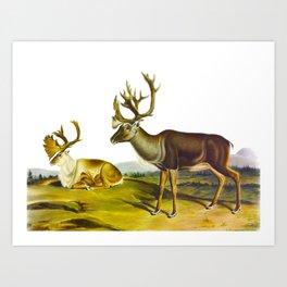 Caribou, or American Reindeer Art Print